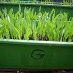 Getreide (3)