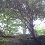Kleiner Baum bei der Begräbnisstätte bei Kummeludden, Schweden