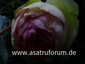 Meine Eden Rose 85  blueht