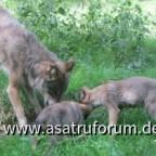 Wölfe in der Schorfheide